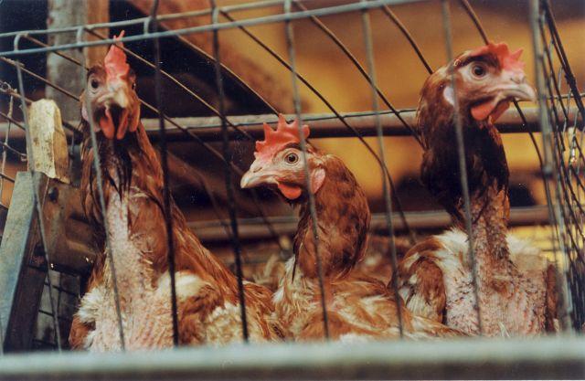 ВОЗ отслеживает ситуацию с птичьим гриппом в России